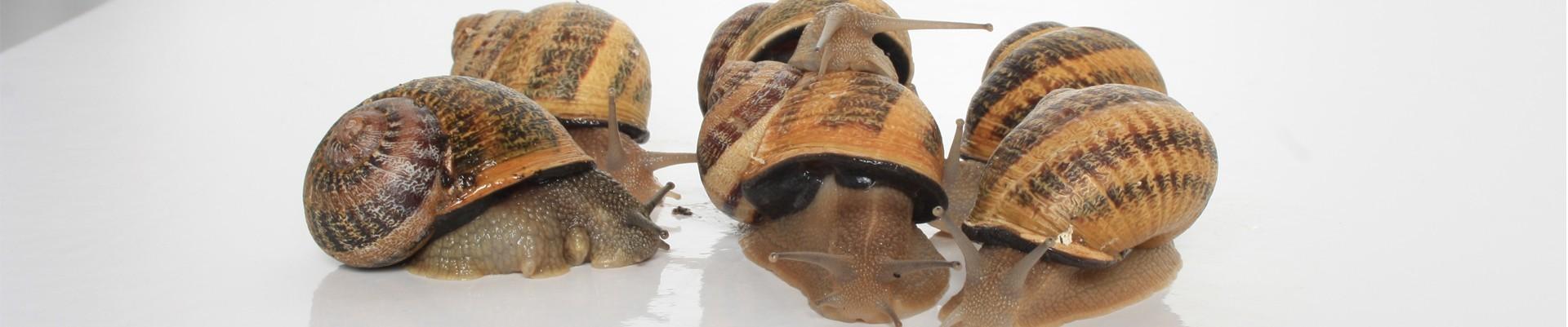 Escargots Vivants - Les produits de Provence - Escargots, Truffes, Miel - Enclave des Papes